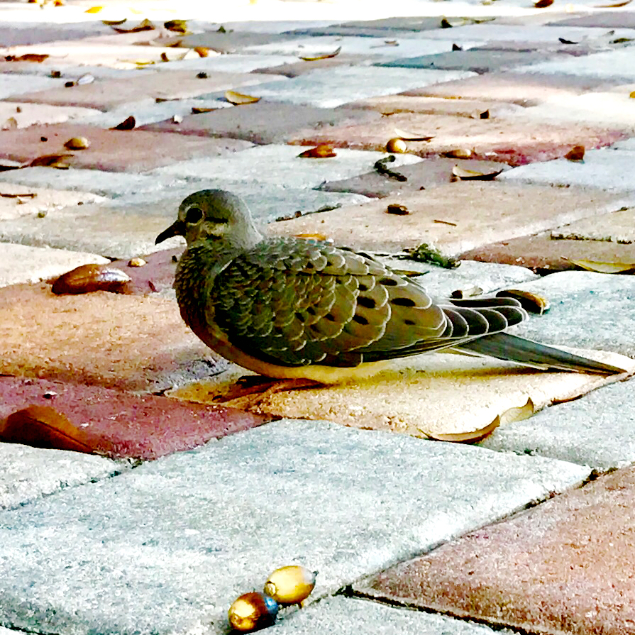 Dove on the patio