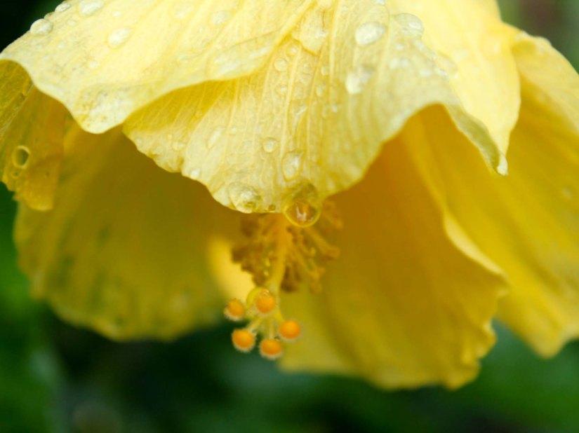 hibiscusdrop