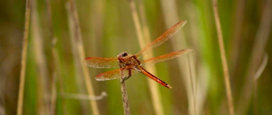 orangedragonfly