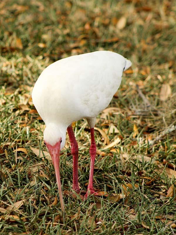 ibis4