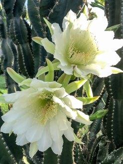 twocactus2