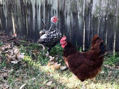 twochickens2