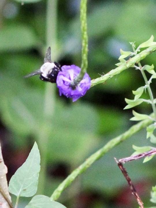 beewings