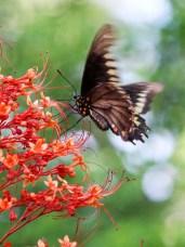 brownorangebutterfly
