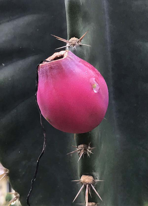 cactusredbud