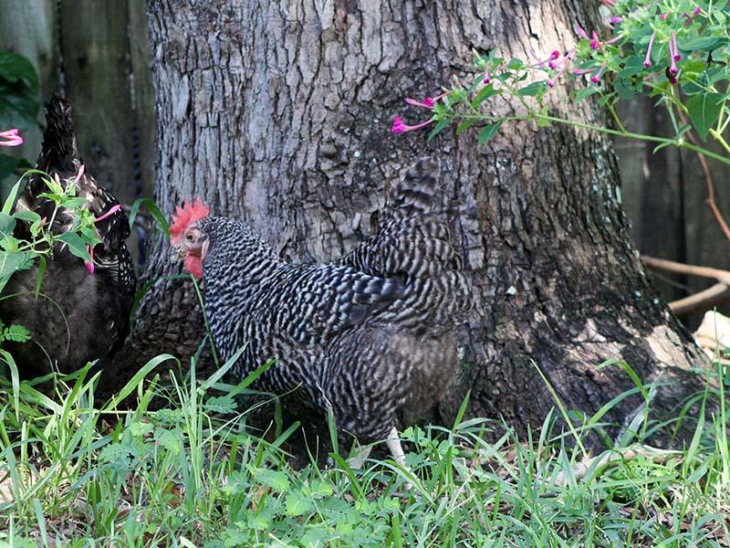 chickenintruder