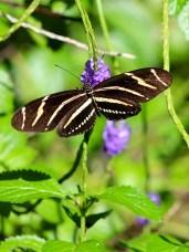 purpletigerbotanical