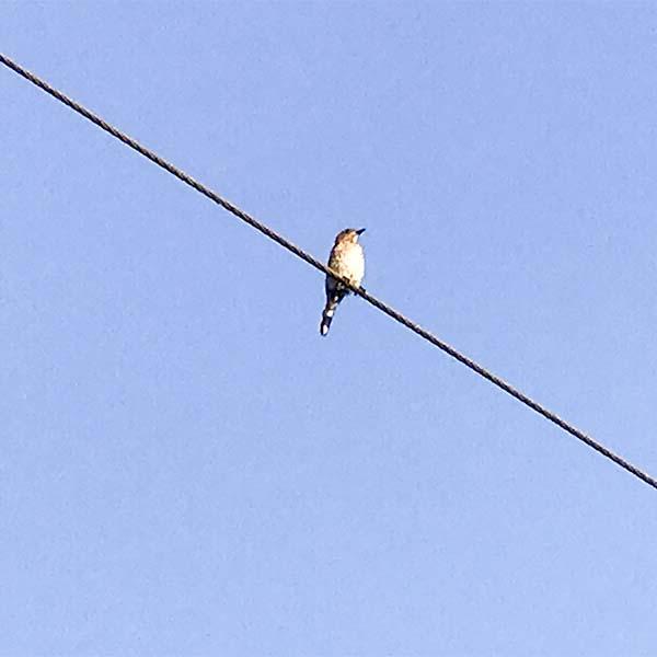 seven+bluebird