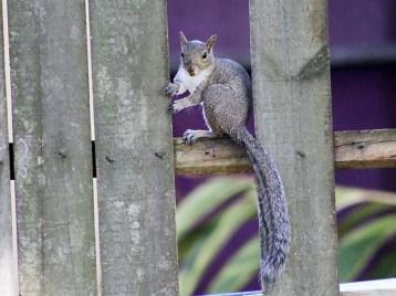 squirrelintruder