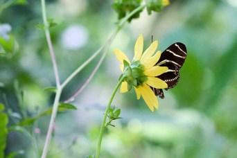 yellowstripebotanical2