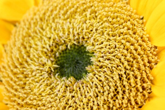 closesunflower2