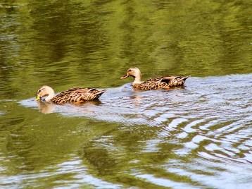 duck131