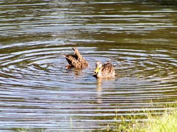 duck132