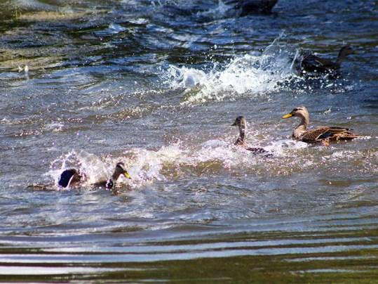 duck133