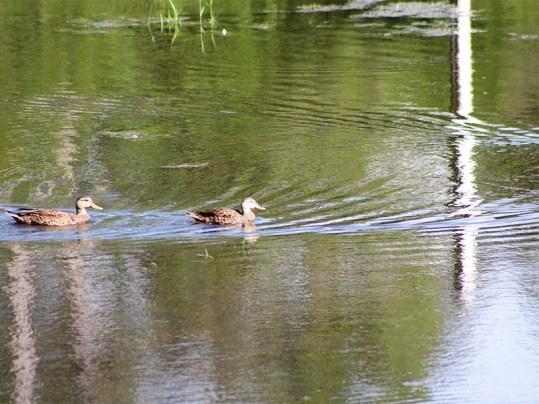 duck134