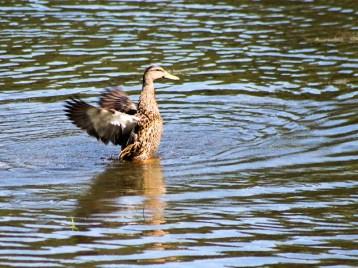 duck135