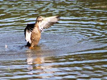 duck136