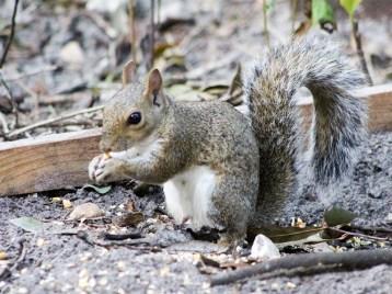 dumbclucksquirrel