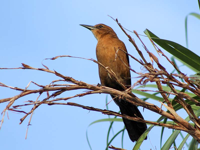 1016femalegrackle