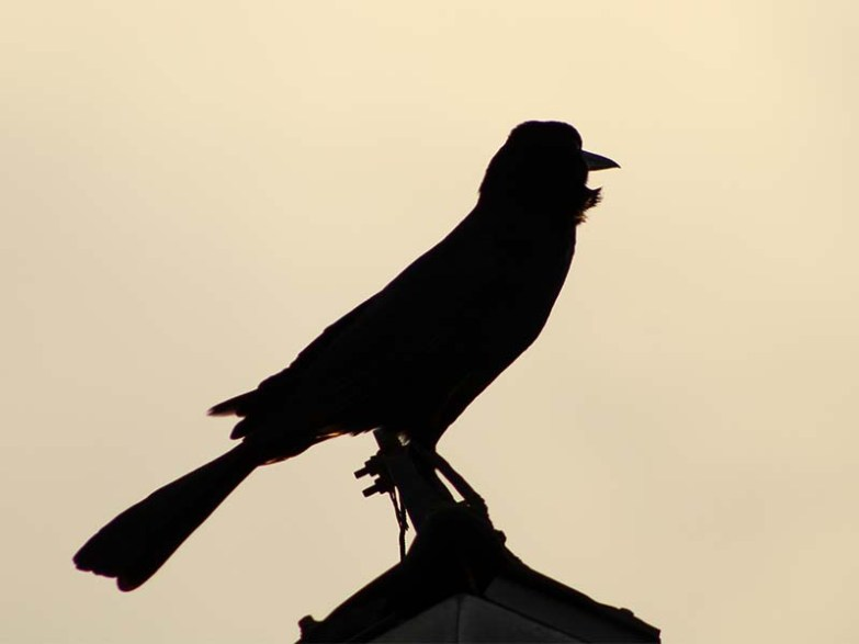1016gracklesilhouette