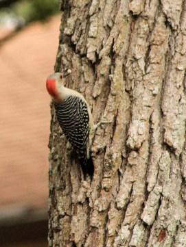 1028woodpecker1