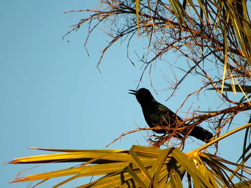 1030grackleinpalm