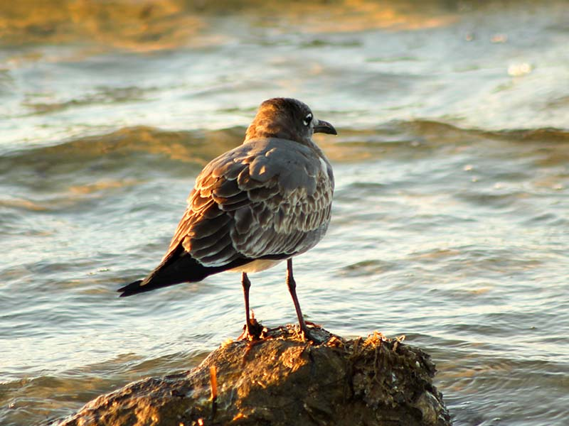 1116redknot2