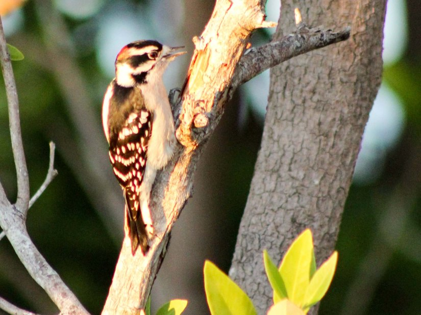 1130downeywoodpecker