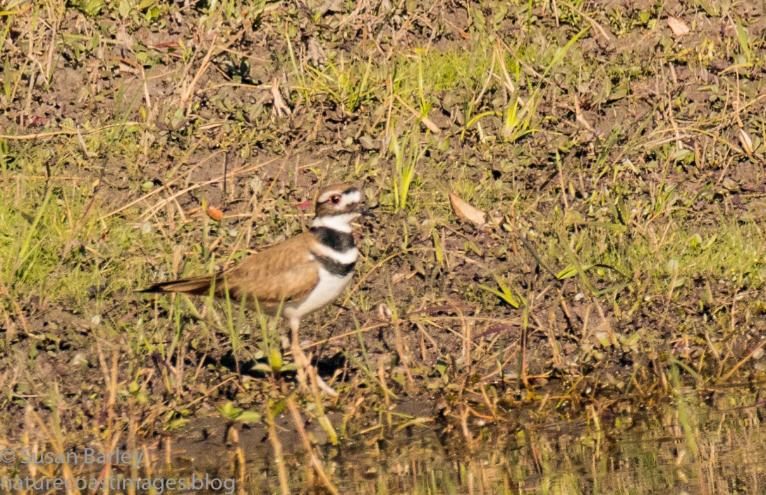 1-16killdeer3