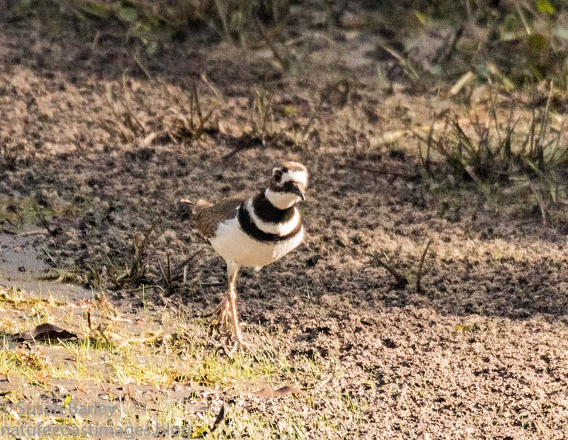 1-16killdeer4