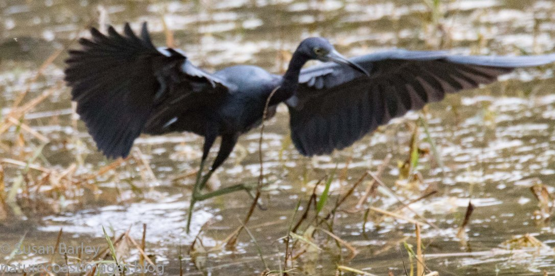 1-20littleblueheron1 copy