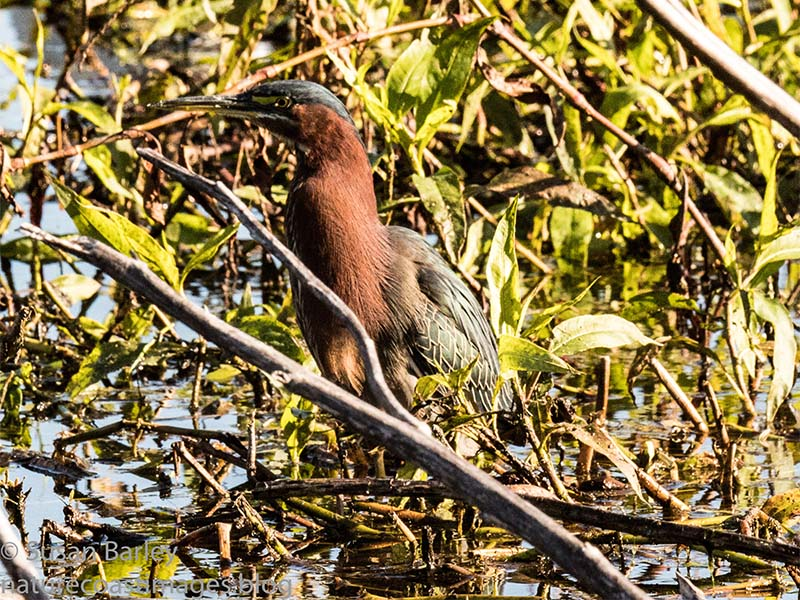 1-7greenheron copy