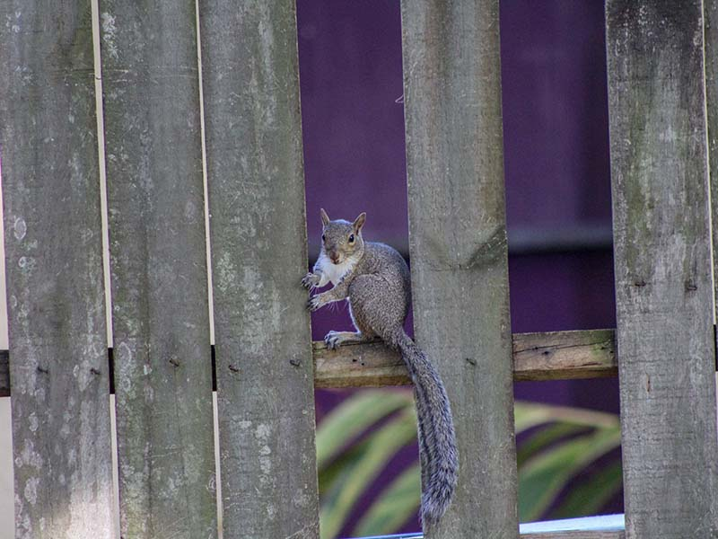 2-10fencesquirrel2