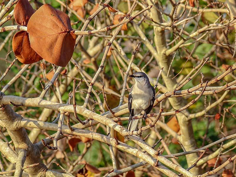 2-14northernmockingbird