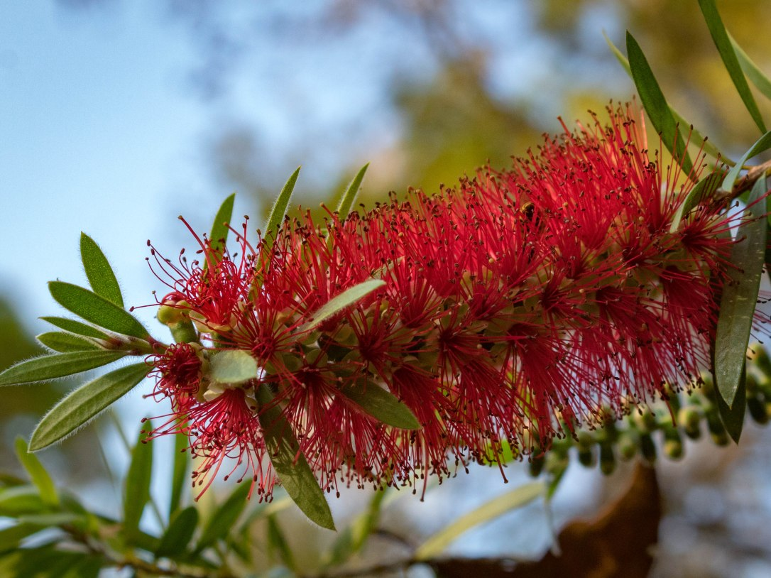 2-27bottlebrush