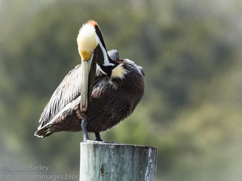 Day 6 Pelican