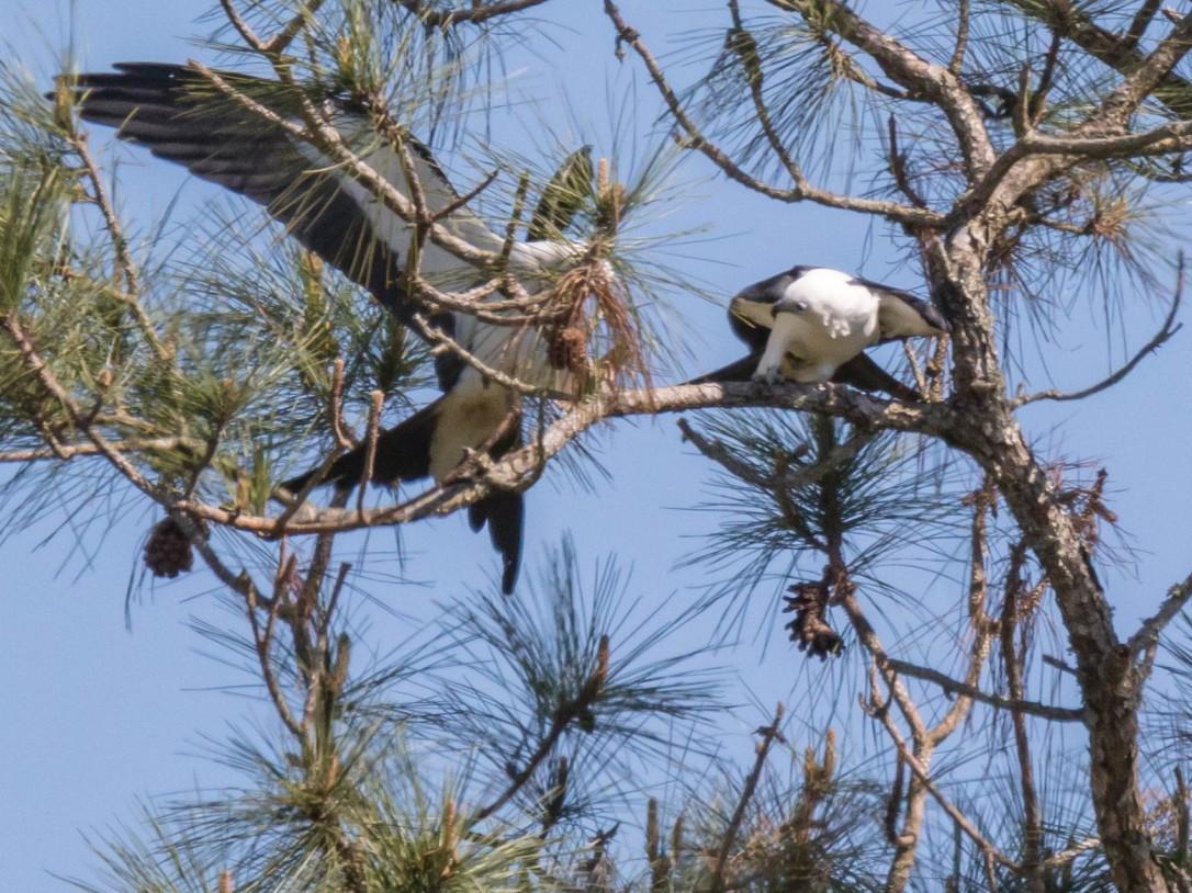 3-22swallowtail5