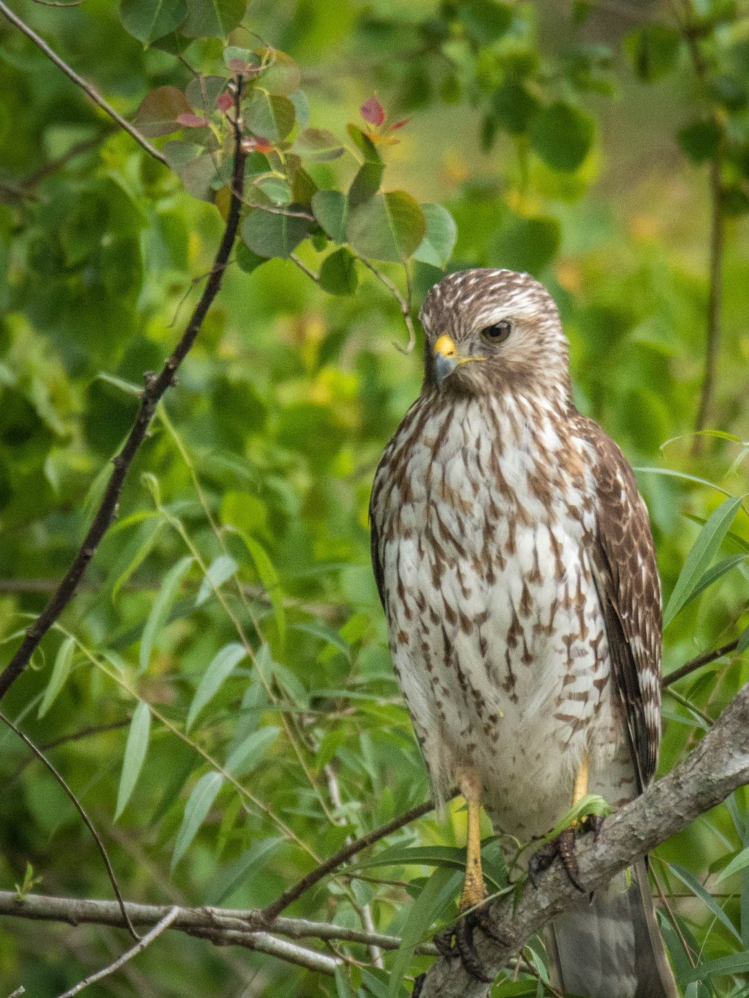 3-31juvenilered-shoulderedhawk2