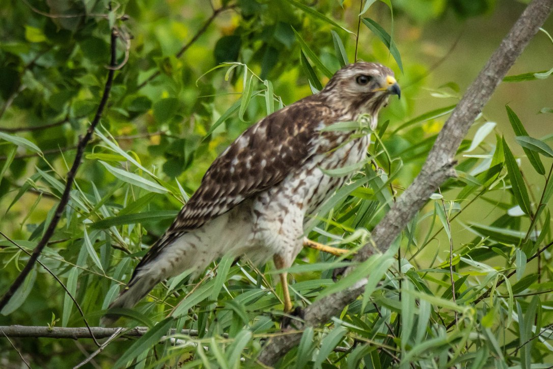 3-31juvenilered-shoulderedhawk3