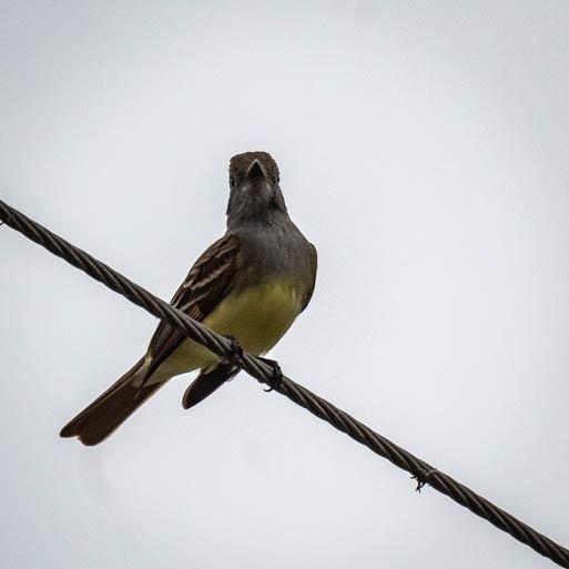 4-23yellowbird