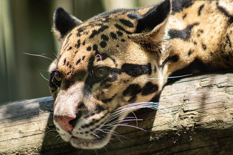 4-29snowyleopard