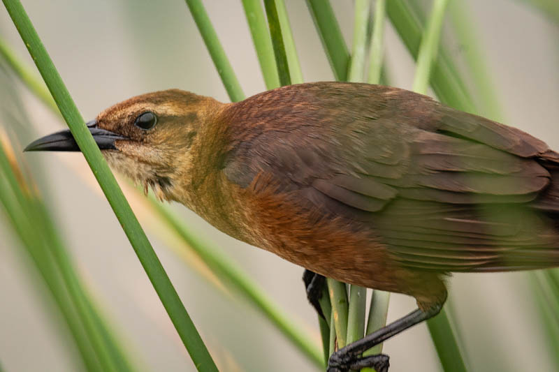 5-12femalegrackle