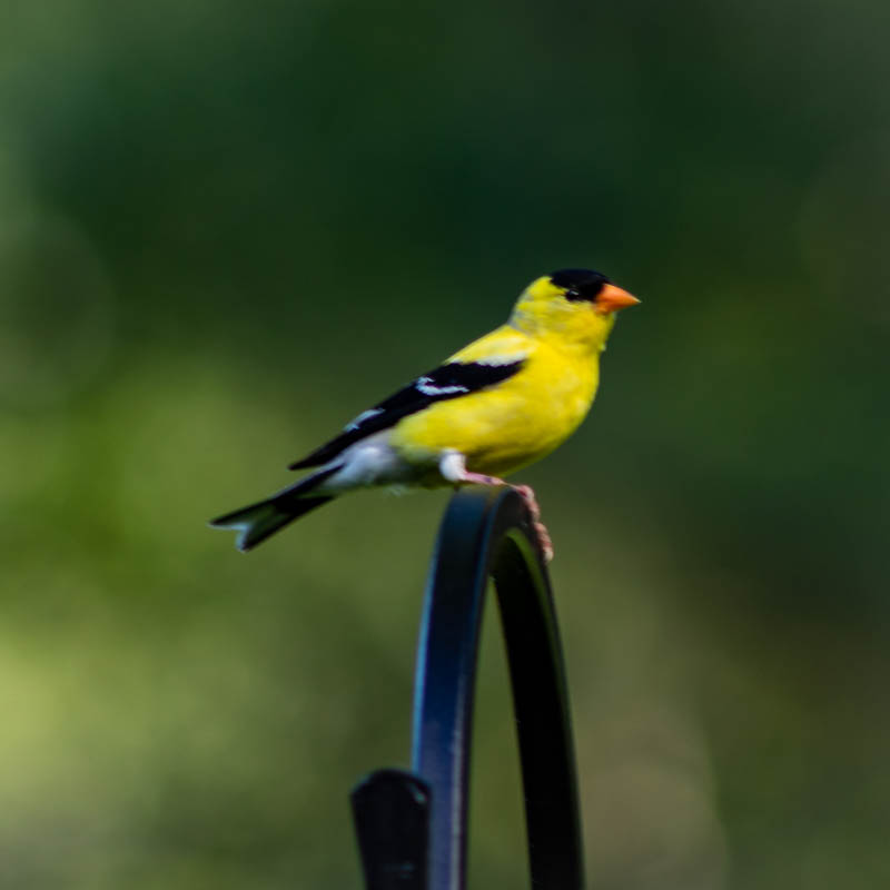 7-2goldfinch