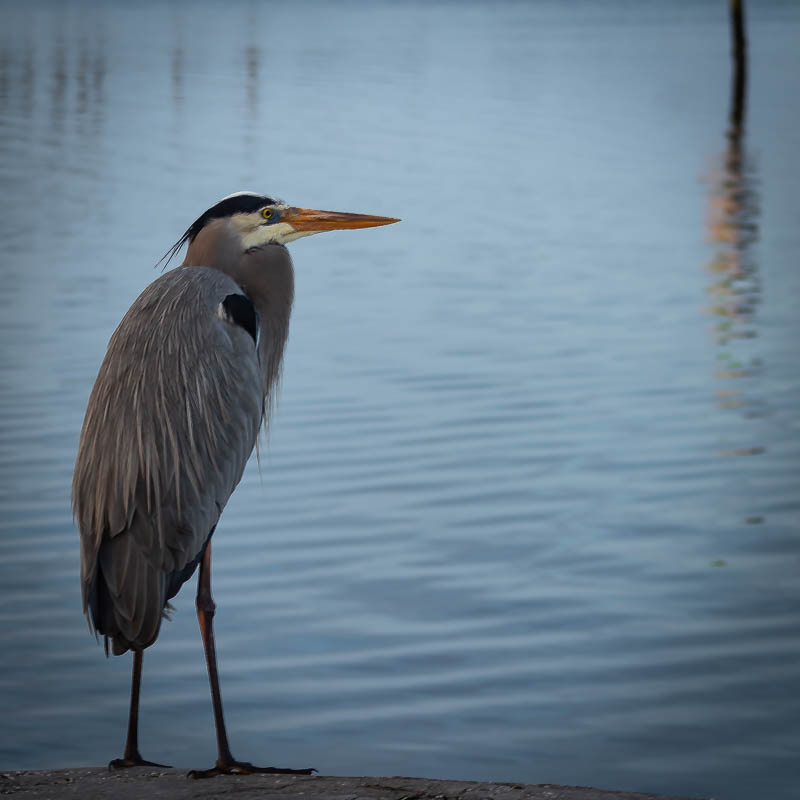 11-19greatblueheron