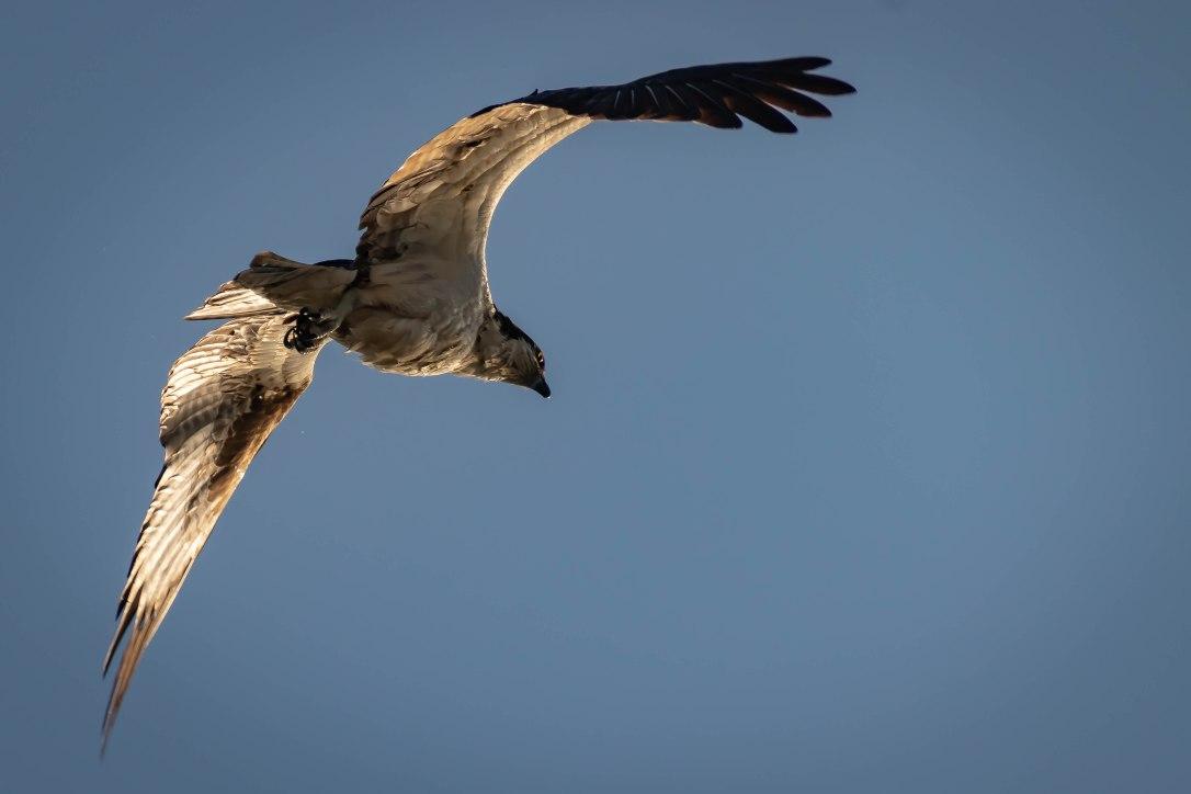 04-11-19bigbirdosprey1
