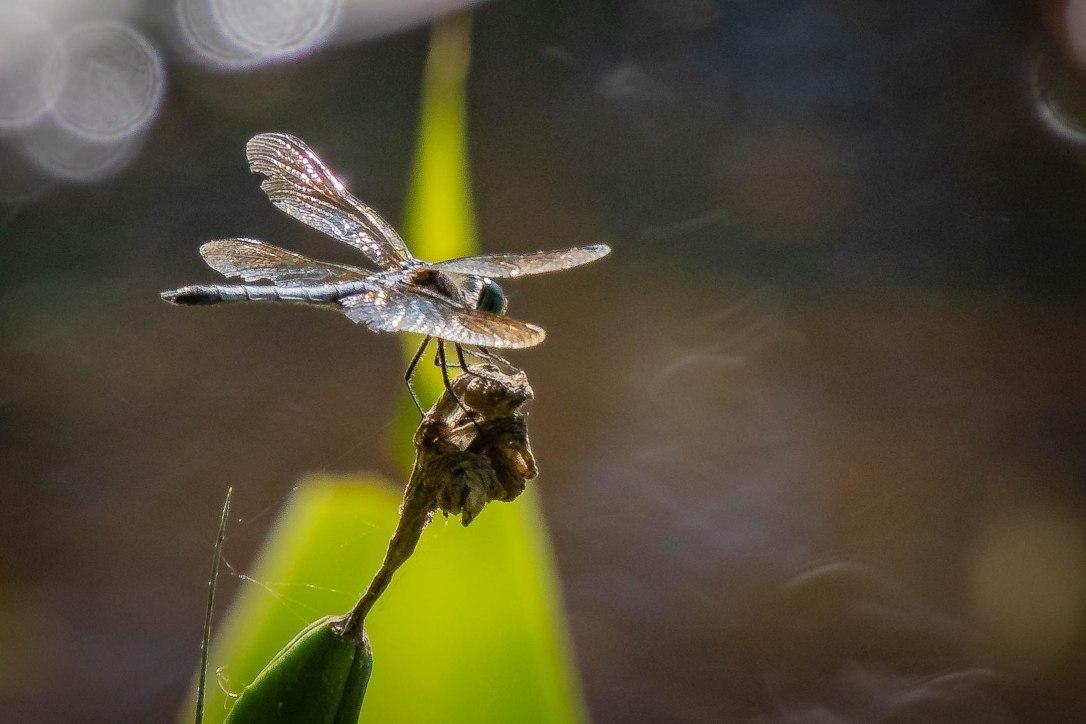 4-12-19dragonfly1