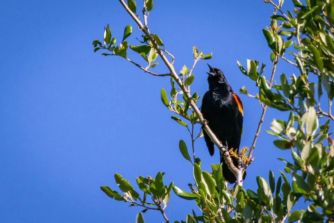 4-12-19redwingblackbird