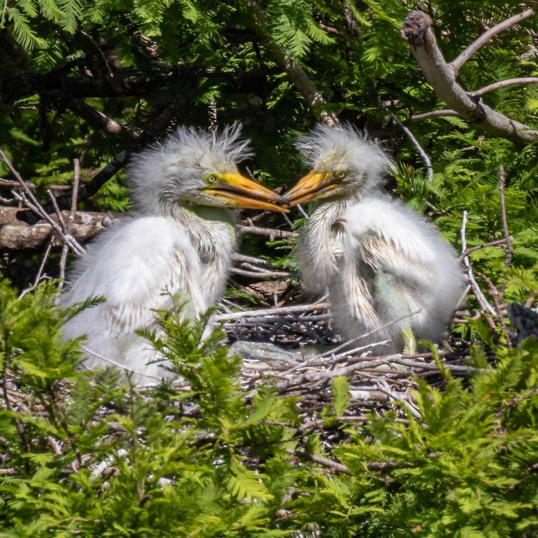 4-15-19ospreyegretfight2