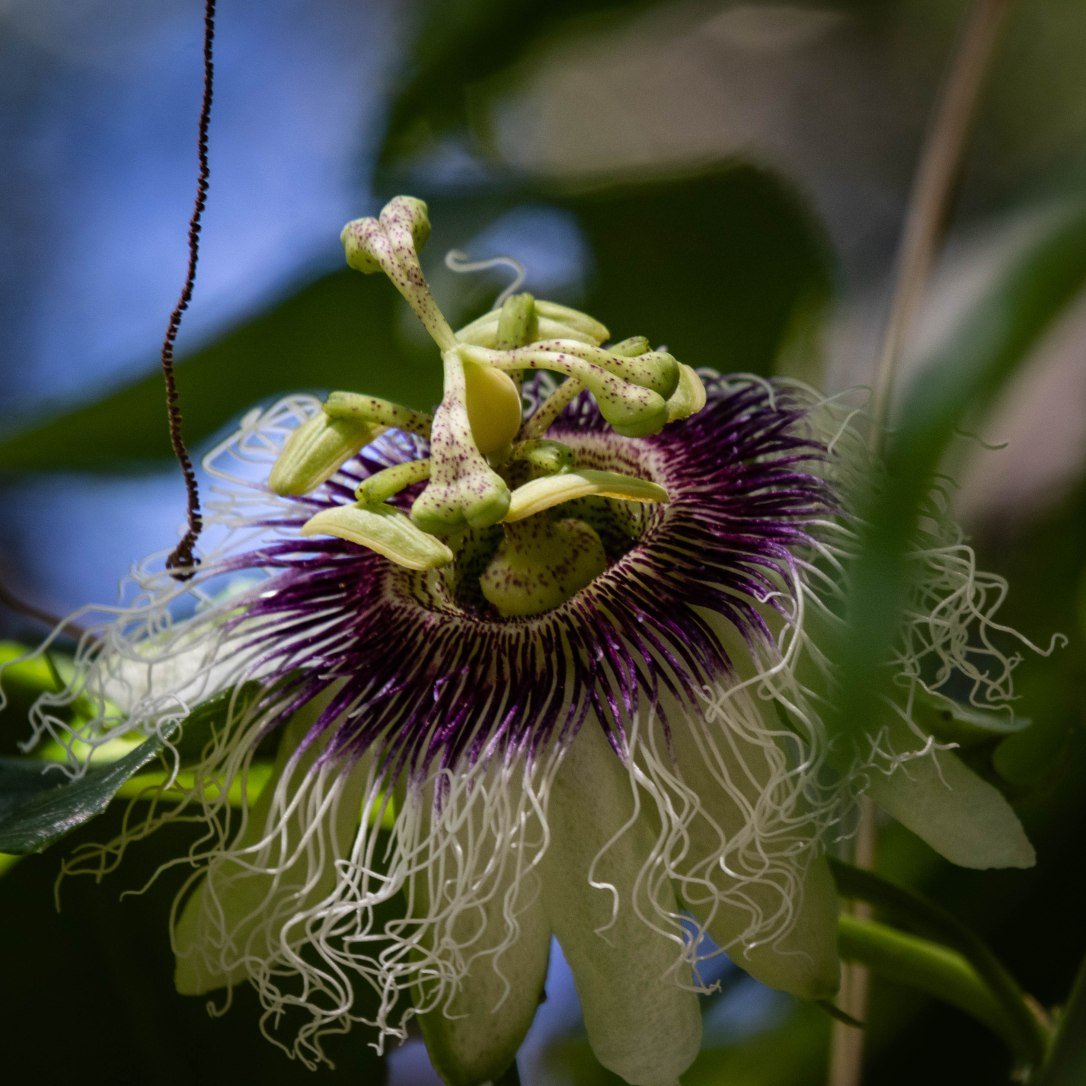 4-22-19passionflower