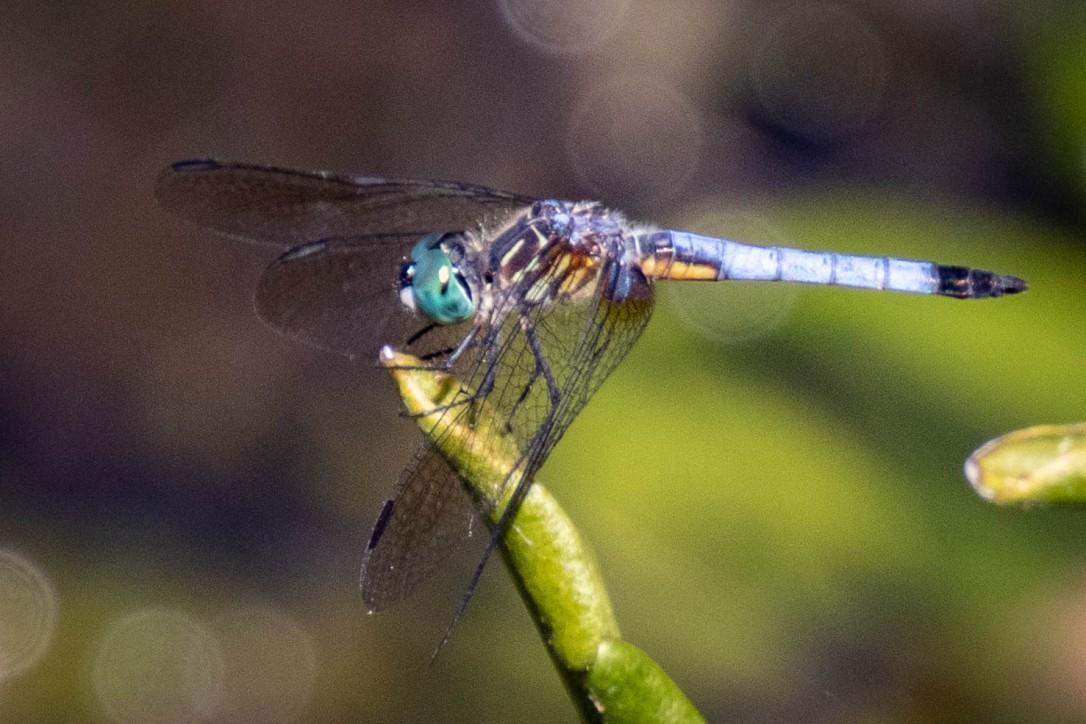 4-23-19wallspringsdragonfly